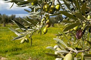 Picture of olives on a tree